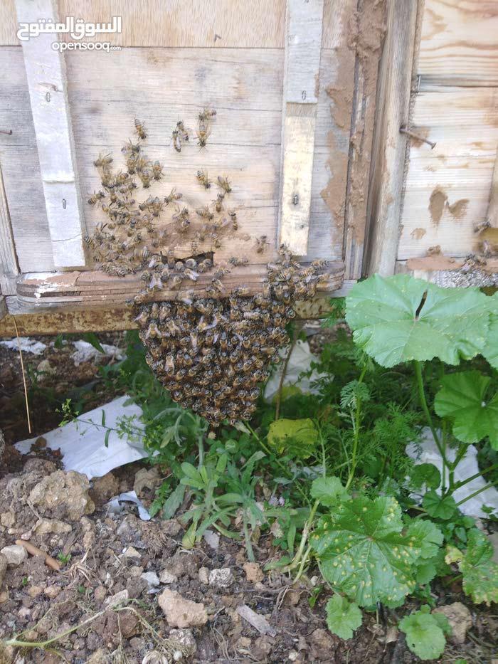 نحل للبيع(طروود_قسائم_خلايا فنية_خلايا بلدية) _عسل بجميع الانواع_منتجات النحل