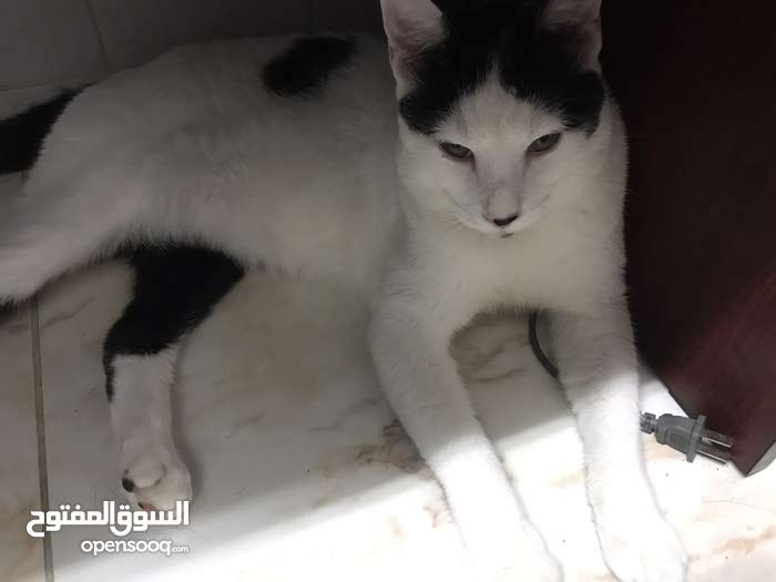 Male cat for adoption