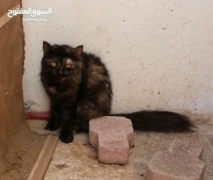 قطة شيرازيىة للبيع