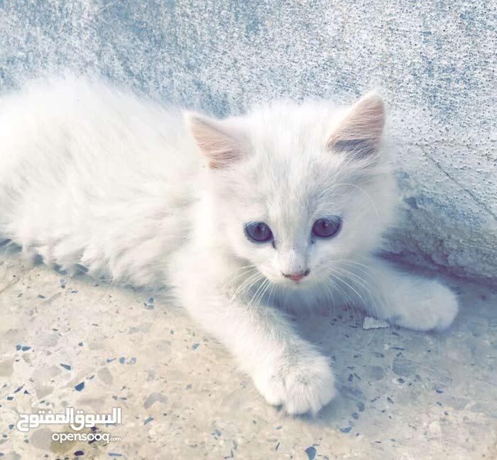 قطط شيرازيه امريكيه بيضاء في الاحساء