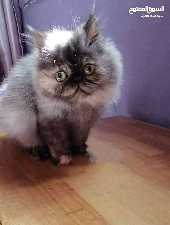 قطة بيرشن للبيع