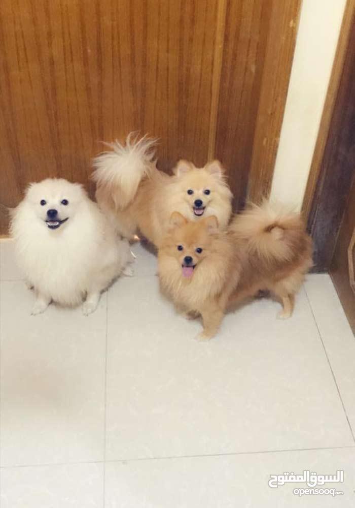 كلاب بوميرين
