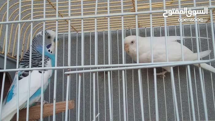 طيور بصحة جيده والأنتاج مضمون