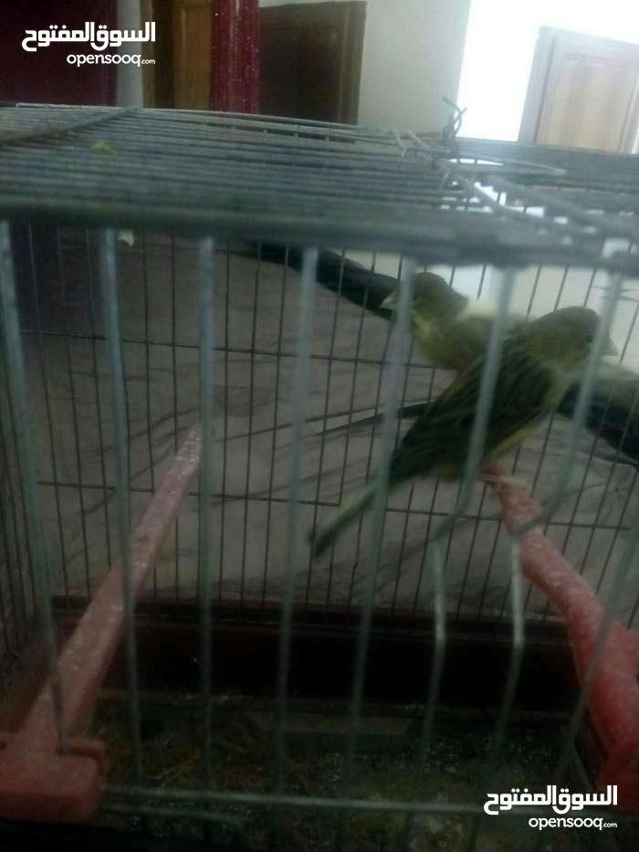 عصافير كنار للبيع