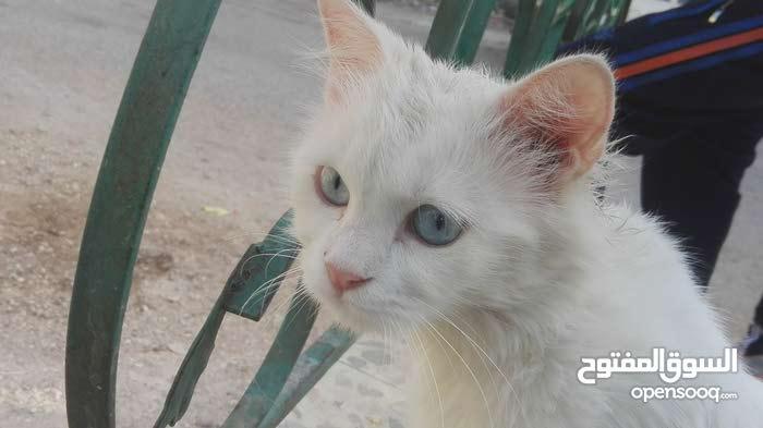 قط شيرازي عيون زرق