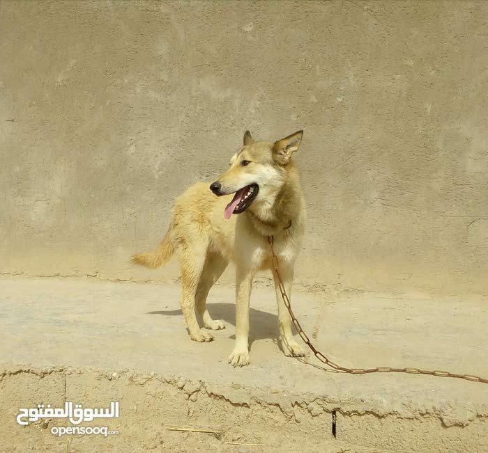 كلب فحل العمر سنه وشهرين النوع ابك ذءب والام كلبة تفتيش