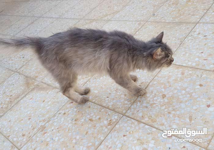 للبيع قطه شيرازية