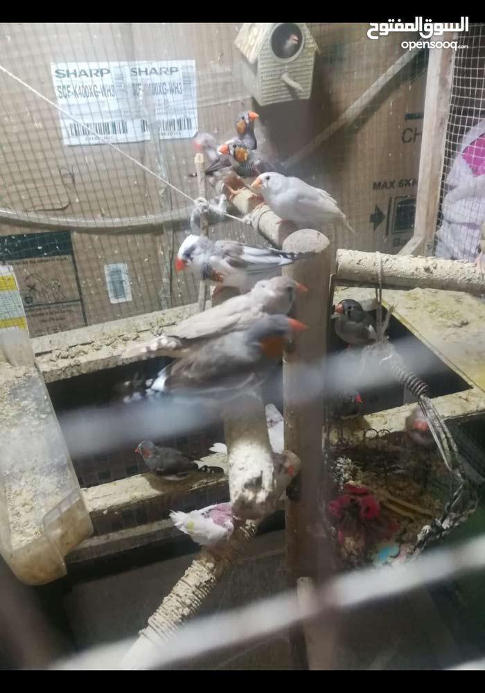 طيور فناجز للبيع ملوت بيت نظيفات بصحه جيده