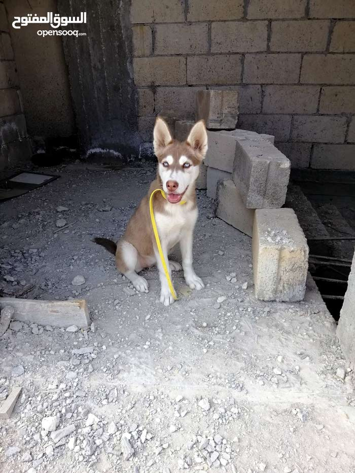 كلب هسكي تشوكلت 3 شهور للبيع بداعي السفر