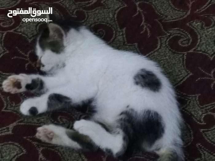 من لدية قطط للتبني انا اتبنى قطط : دمشق