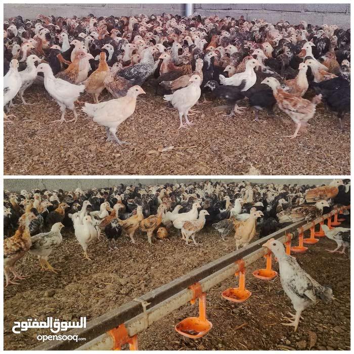 بيع دجاج عماني عماني(محلي) بالجمله،،،