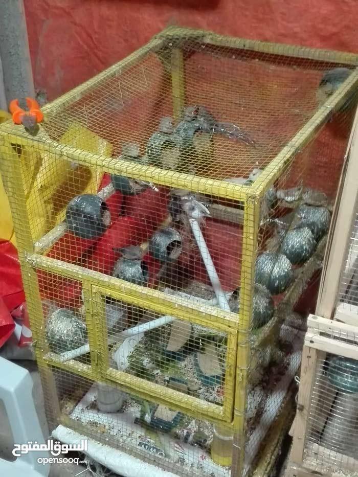 13 جوز فنجز كلهم تحتهم بيض مش اقل من خمس بيضات كل جوز مع المطير