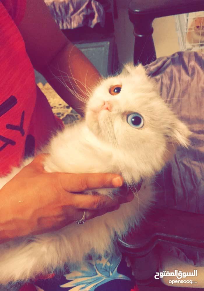 قطة سكوتش بيرشن