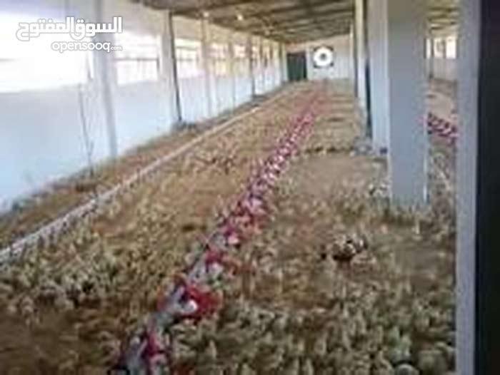 مزارع دواجن مجهزه بالفيوم للايجار