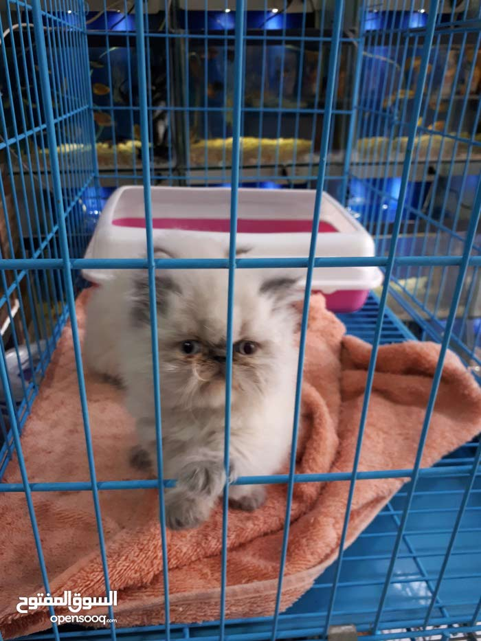 قطط هملايه بكي فيس وهاف بكي للبيع