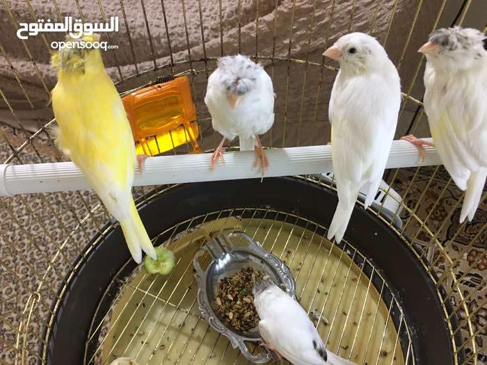 خمسة طيور كناري اربعة فحل وواحدة انثى مثل ماموجود بالصورة