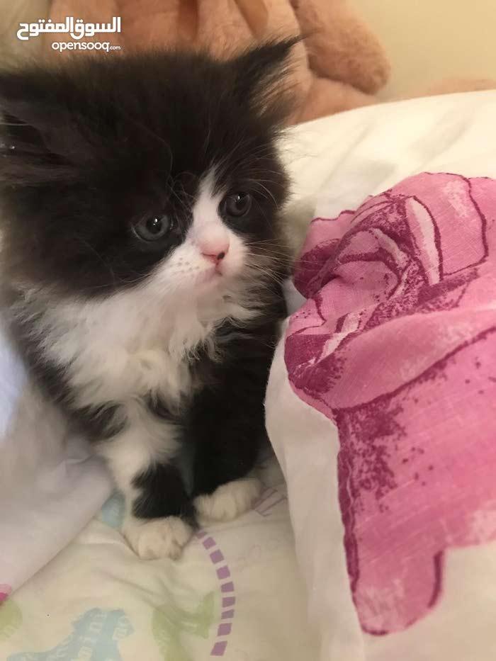 قطط عمر شهر ونص لي البيع