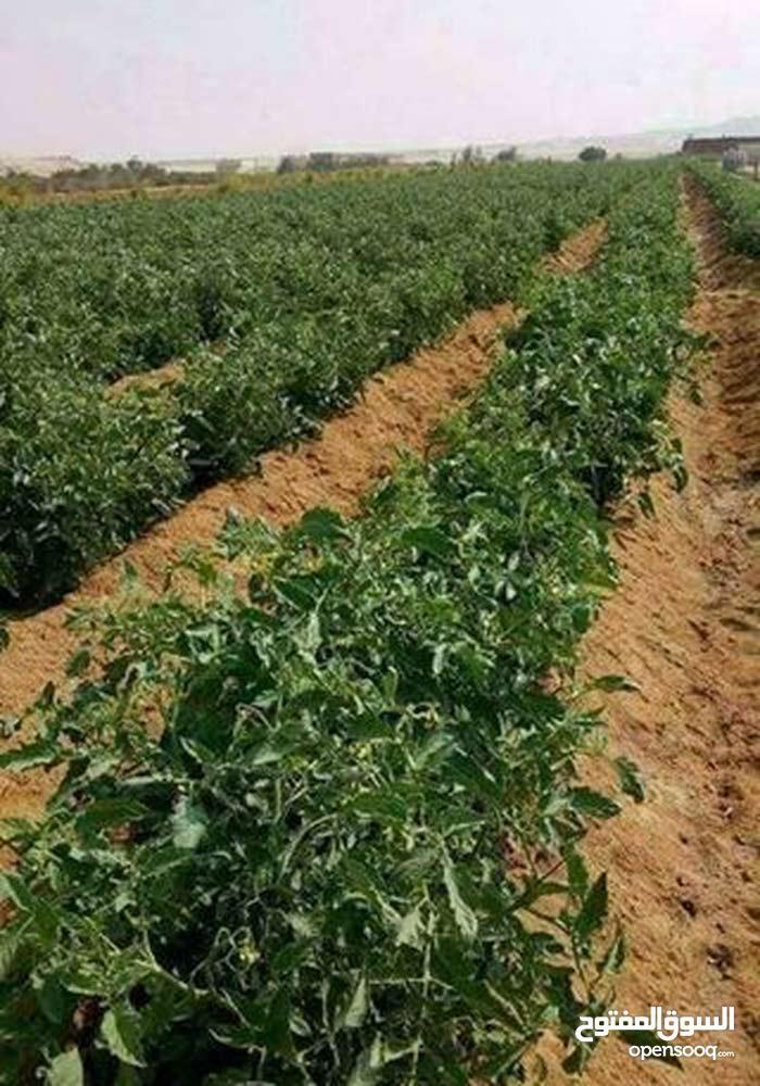 ارض زراعية للبيع علي الرئيسي