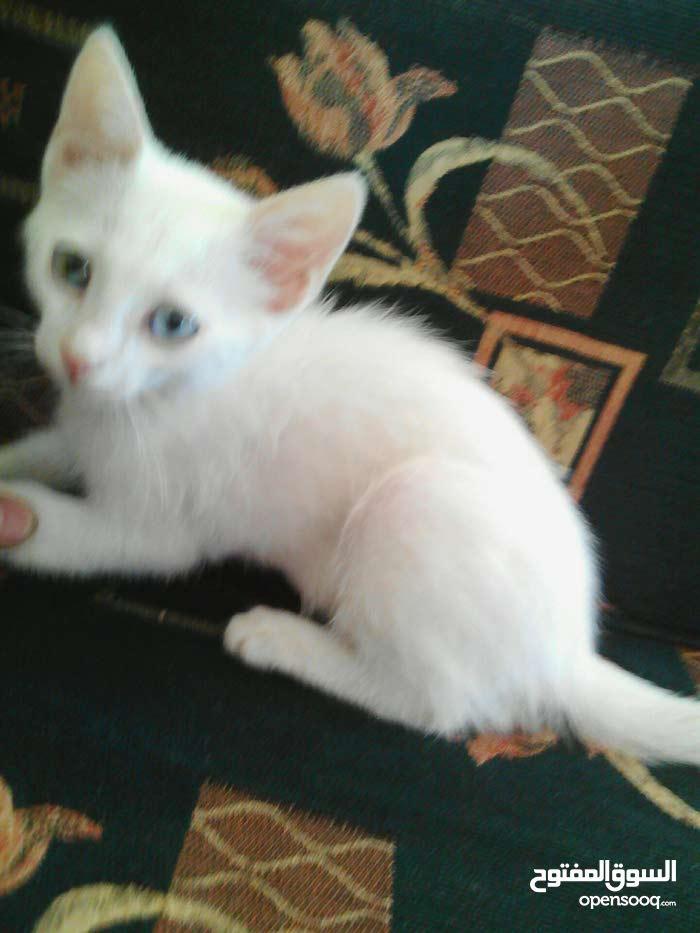 قطه شيرازيه للبيع لون العين اخضر وازرق