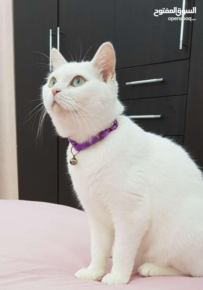 قطه انثى مكس تركي وبريطاني