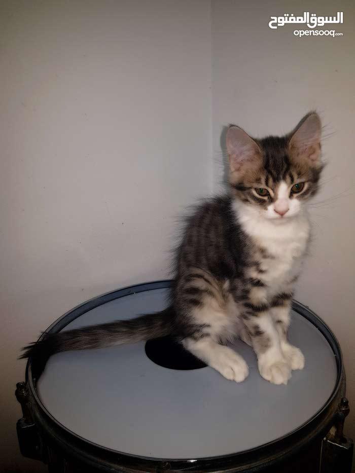 كتن سيبيريان (ليس بيور) /Kitten Siberian