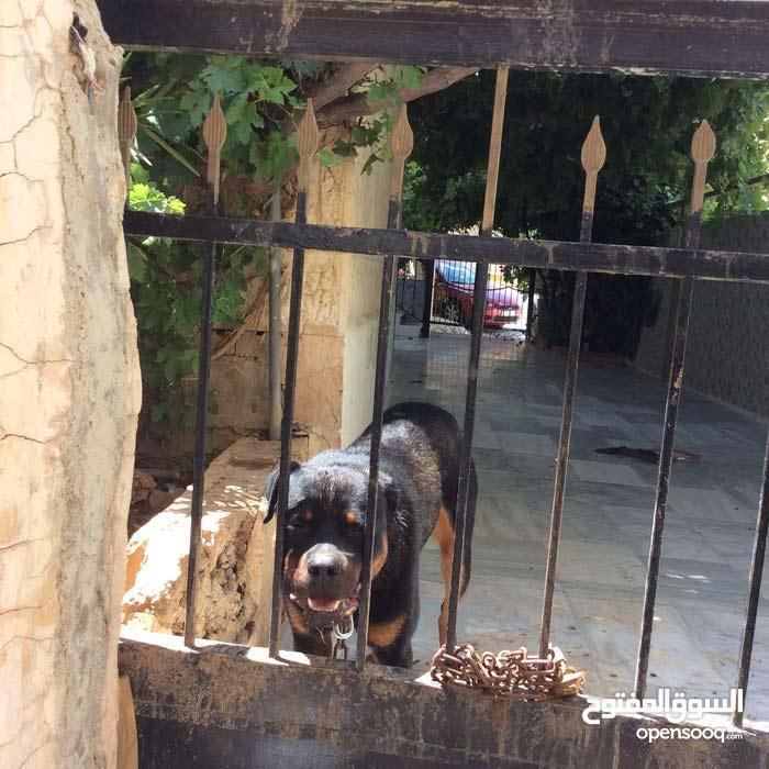 كلب روت ويلر  للبيع