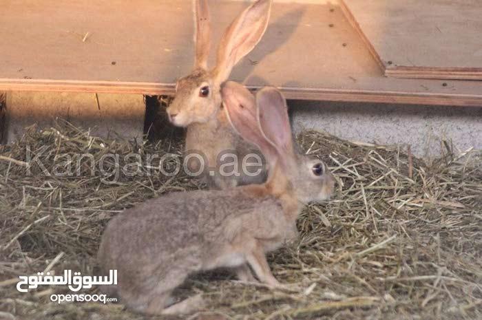 ارانب برية للبيع