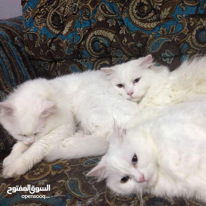 Pure white cats