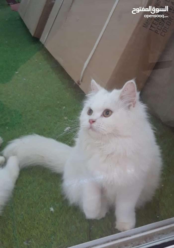 قطط شيرازيه للببع ،، الاستلام صور