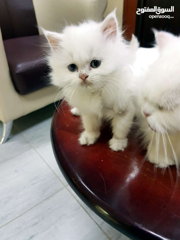 قط شيرازى عمر شهرين مع الام عمر 14شهر