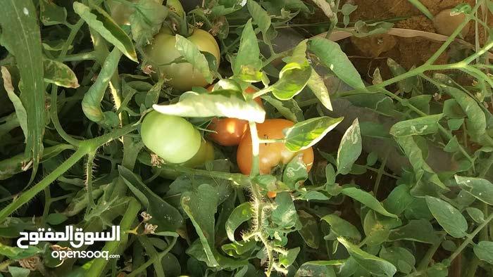 مزراعه 60 مزروعه 60  طماطم قابله لتجزئه و سعر الفدان مذهل للغايه