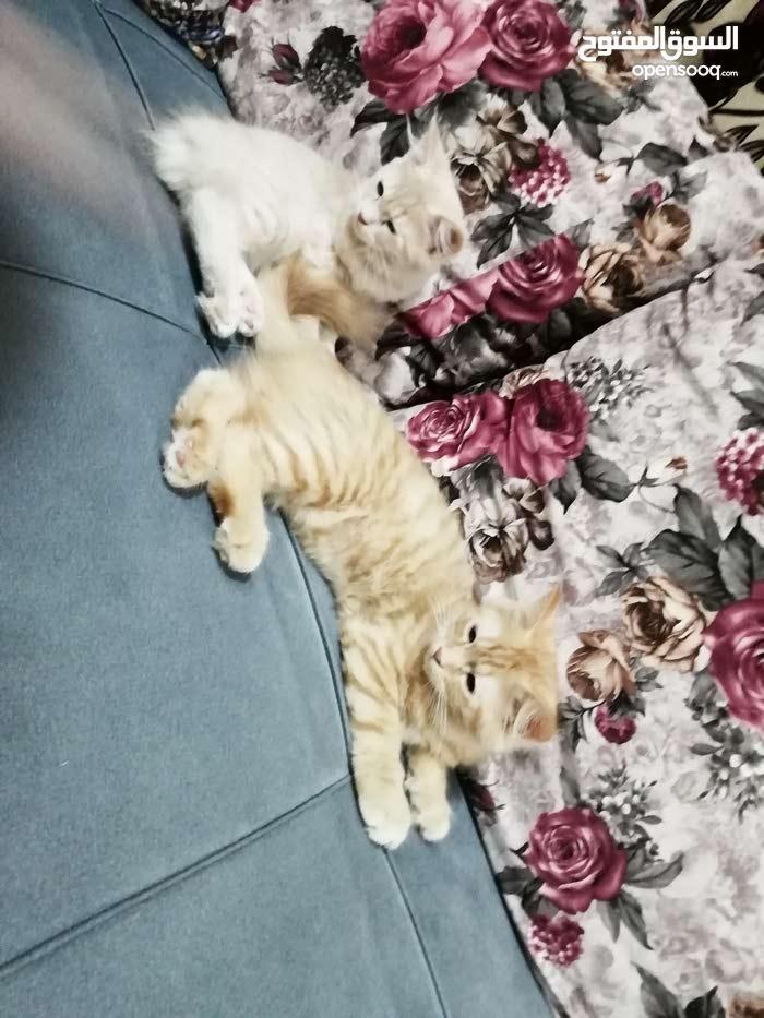 قطتين شيرازي