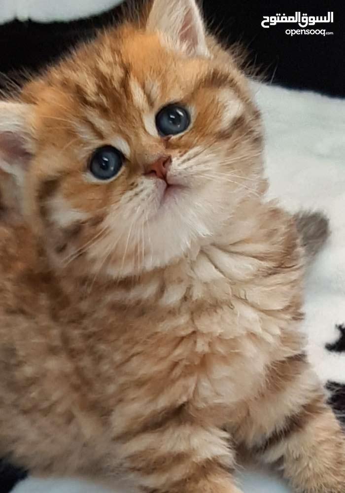 قطة انثى بريتش جولدن للبيع