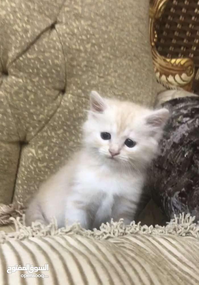 قطط بيبي للبيع (امريكي شيرازي)