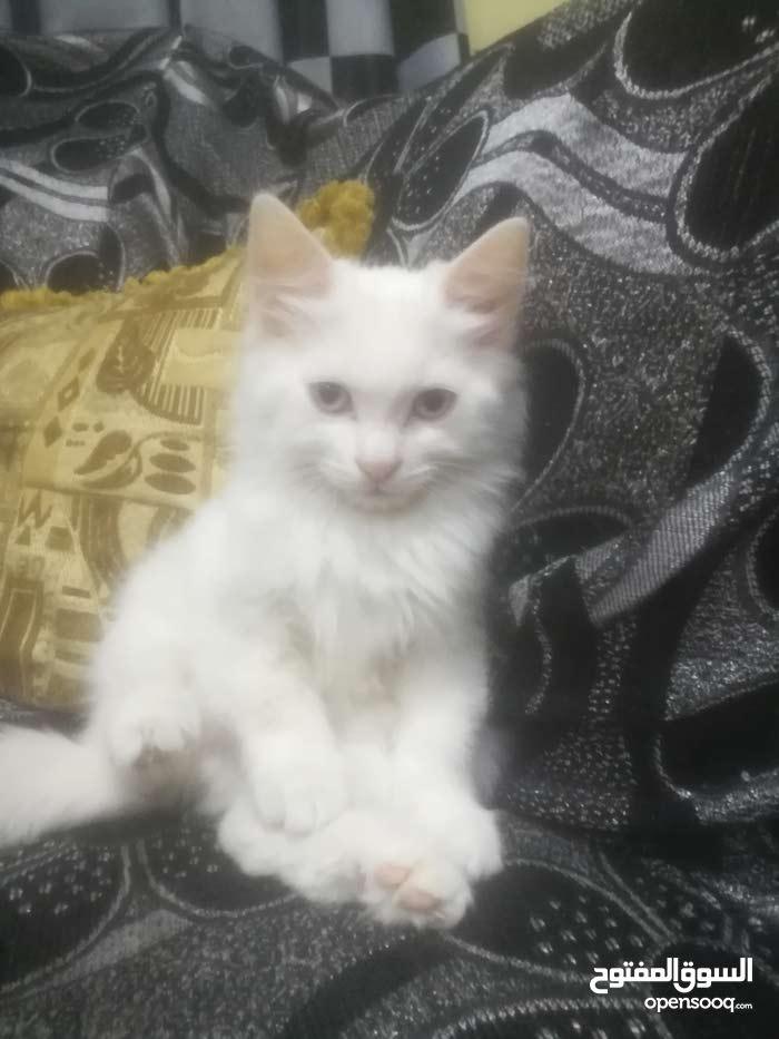 ققطط شيرازي ذكروا نثى