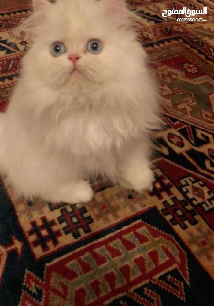 persian kitten piggy face all white blue eyes for sale