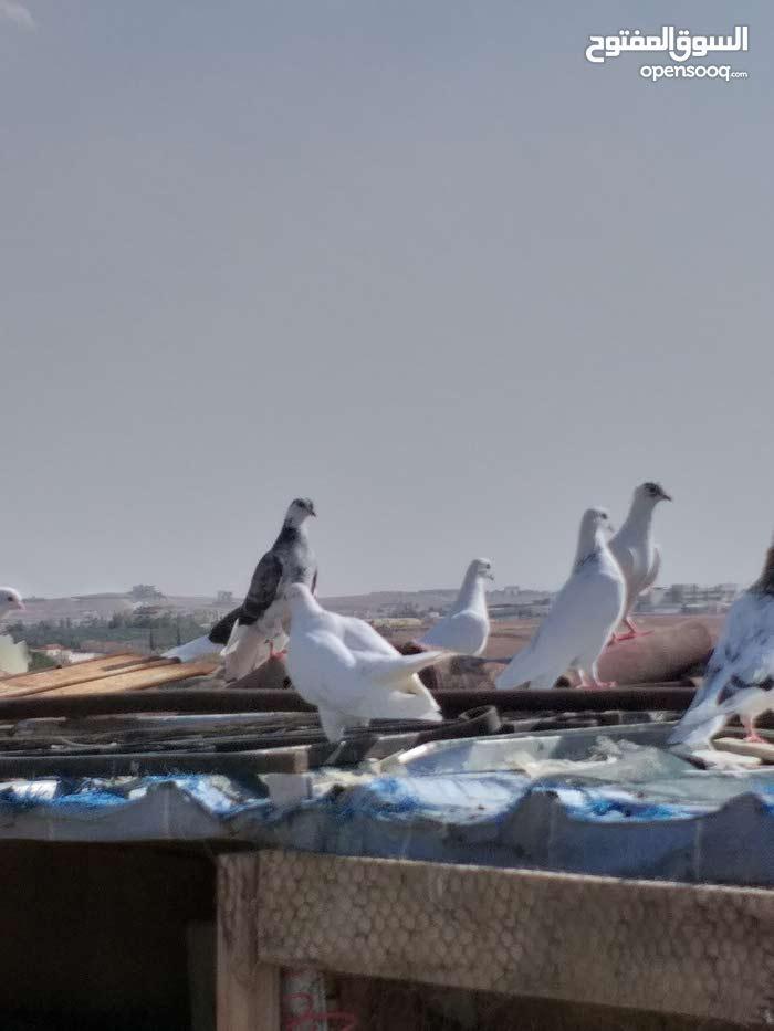 طيور حمام للبيع ايراني قلاب الجوز ب 20 دينار