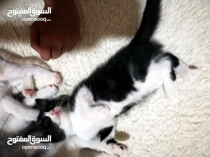 Female kitten shirazi قطه شيرازيه أصلي للبيع