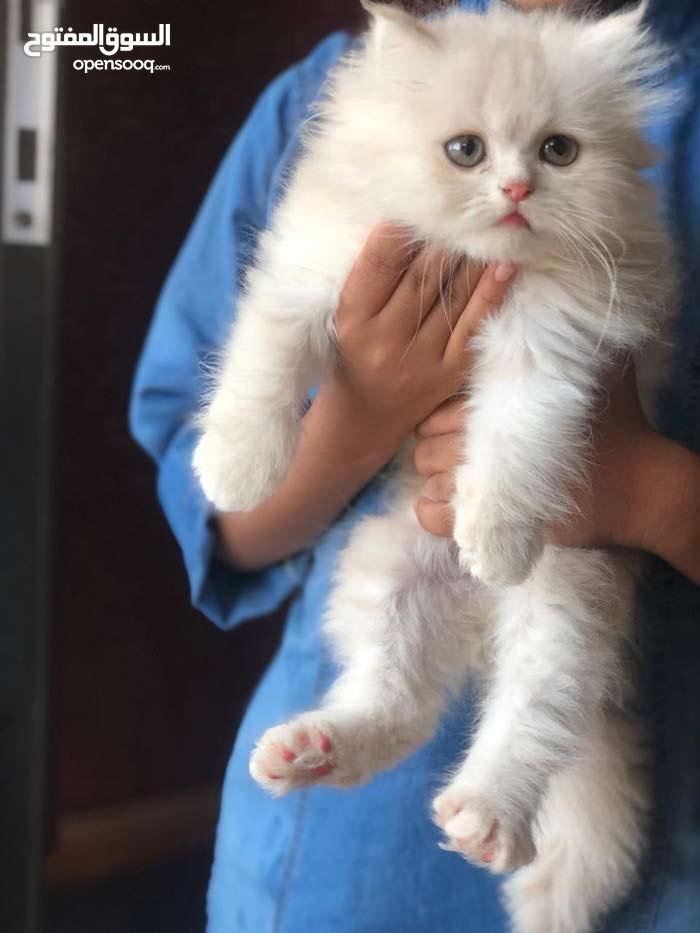بيع قط -cats for sale