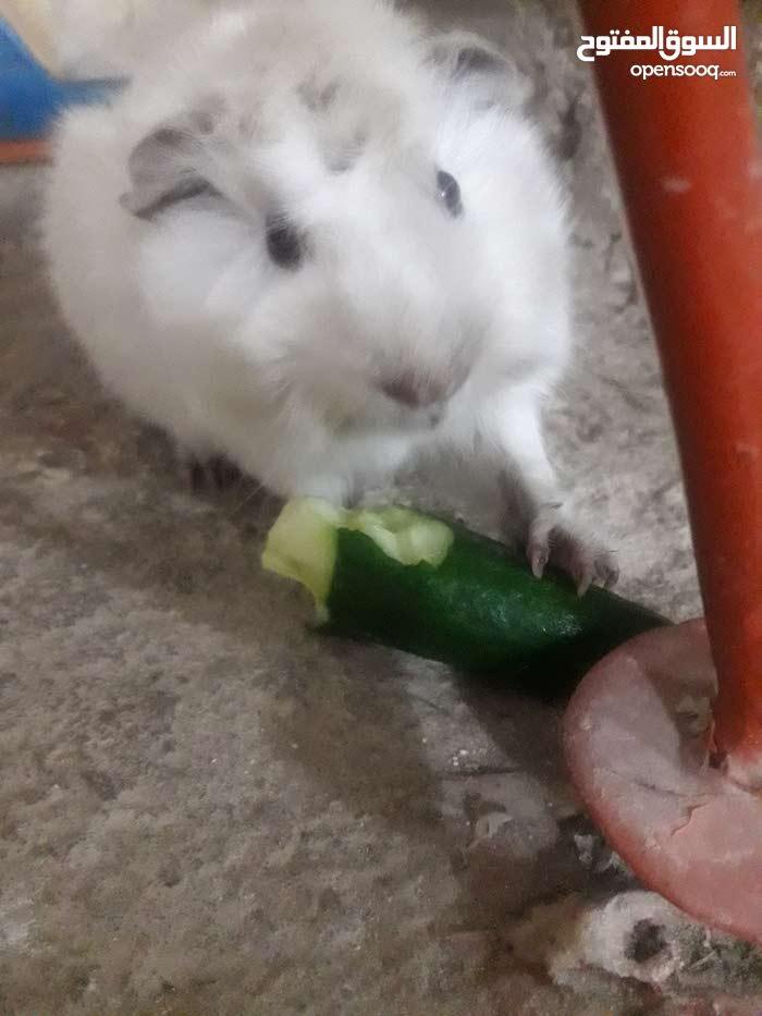 ارنب من نوع غيني بيج لون ابيض صافي مديم هير