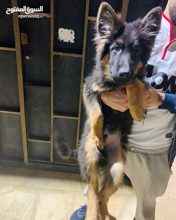 للبيع كلب جرو جيرمن شبرد لونق هير dog