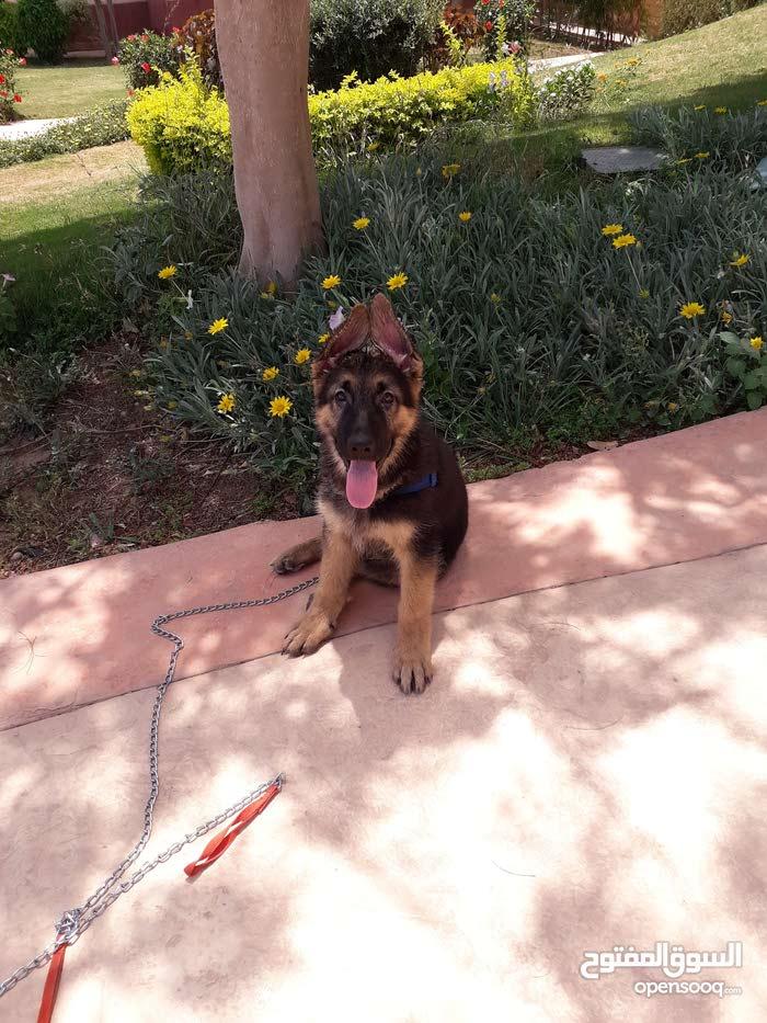 كلب جيرمين شيبرد 3شهور