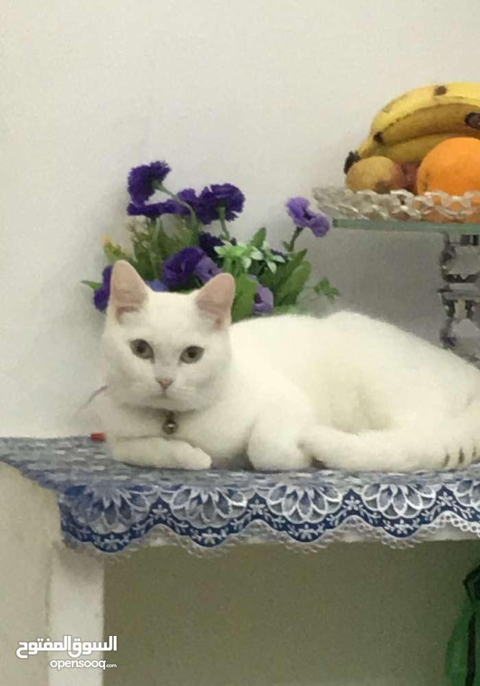 قطة عمرها 8 اشهر بعدها بكر اليفة وجميلة جدا للبيع بداعي السفر مع جميع لوازمها