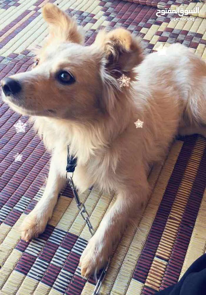 كلب لولي  فوكس بيور ....