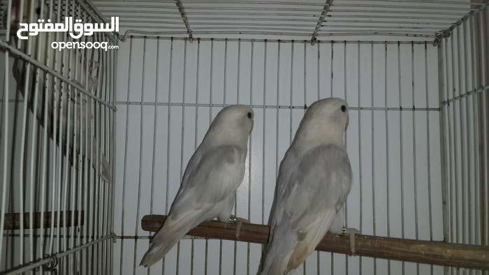 للبيع طيور حب روز