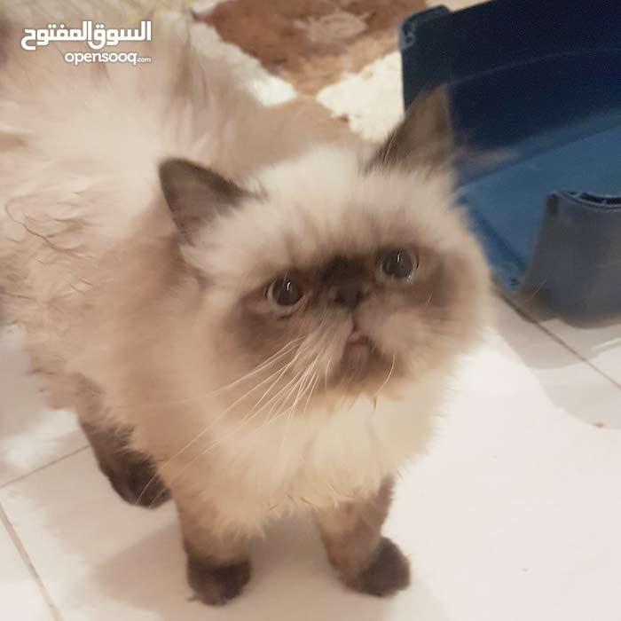 قطط بيكي انثى و ذكر 4 شهور