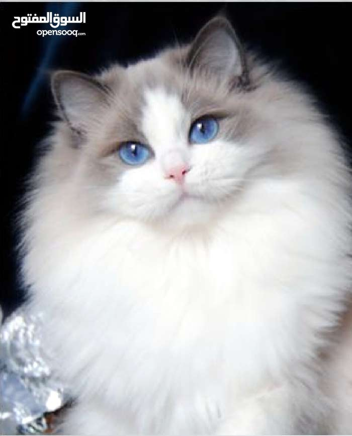sweet cat for sale