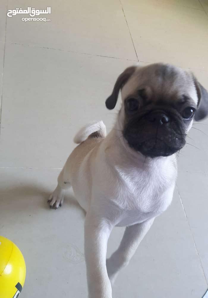 pug male 04 months for urgent sale