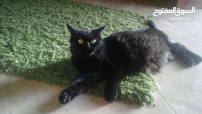 قط فارسي شيرازي  للبيع النوع انثى