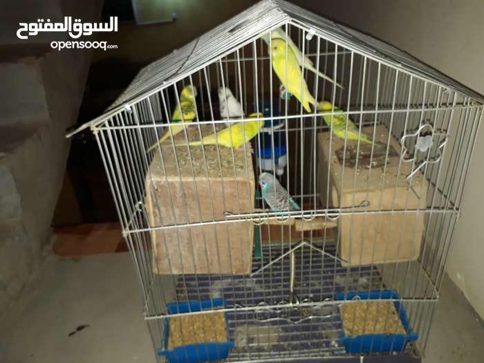 طيور ملونه مع قفص للبيع